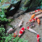 Shoren-in Garden Koi Carp